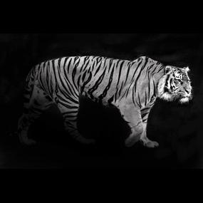 Tijger zwart/wit