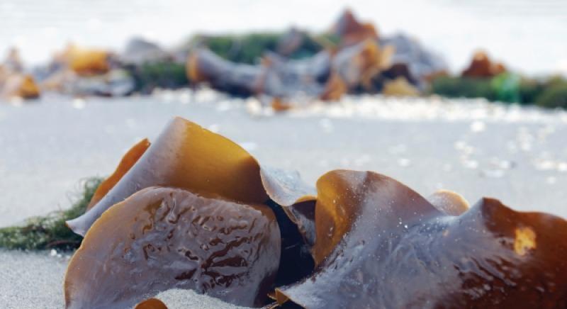 Ziwipeak Kelp