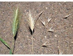 Pas op voor grasaren bij uw hond en kat! Planten met NARE ONDERSCHATTE GEVOLGEN!