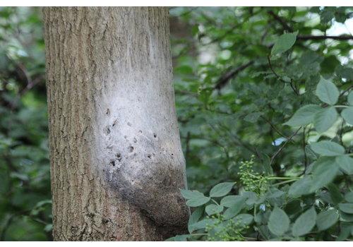 AllesTegenOngedierte.nl Aaltjes tegen Rupsen | Bio Eikenprocessierups Free -  10 nesten