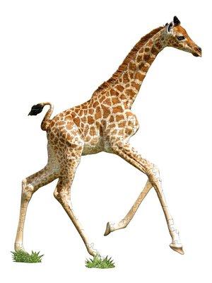 Puzzel - Giraf - 66x86cm - 100st.