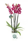 Orchidee Asian Pearl