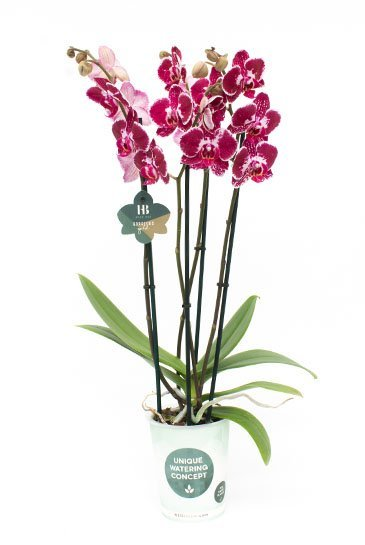 Orchidee Asian Pearl  - 4 tak