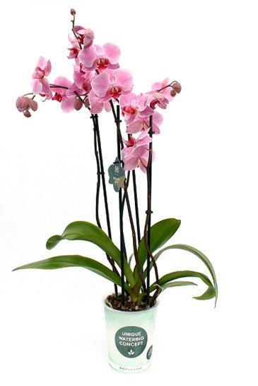 Orchidee Boston - 4 tak