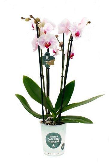 Orchidee Denver 4 tak  -