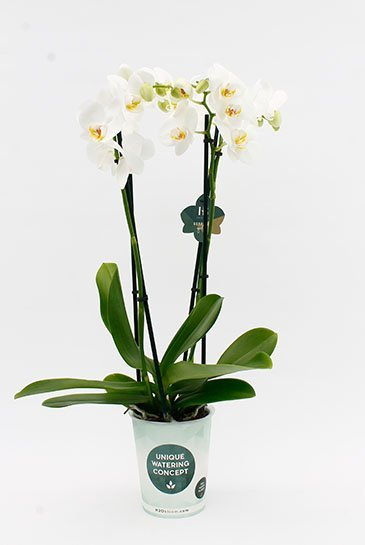 Orchidee Dover  4 tak