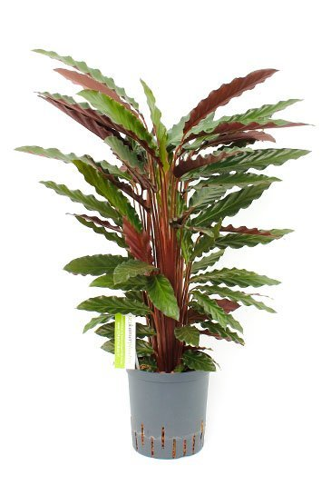 Calathea Rufibarba (Pauwenplant) - Hydroplant
