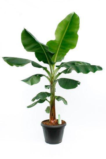 Bananenplant Musa Tropicana - Bananenboom