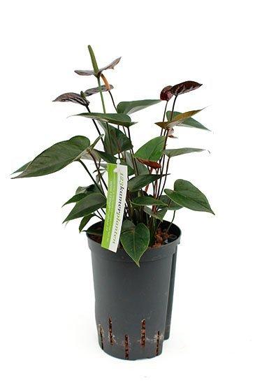 Anthurium Black (Flamingoplant) - Hydroplant
