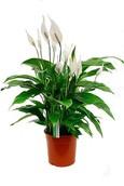 Spathiphyllum Lauretta