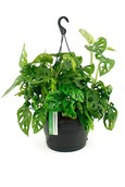 Philodendron Philodendron