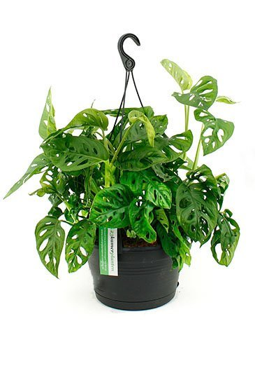 Philodendron monkey mask