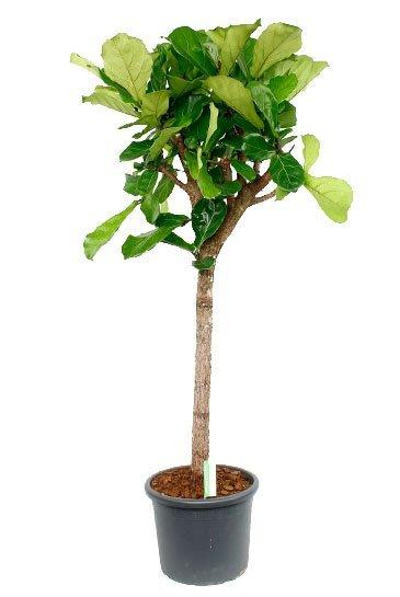 Ficus Lyrata - Tabaksboom