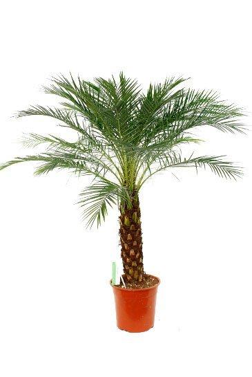 Palm Phoenix Roebelenii - Dwergdadelpalm