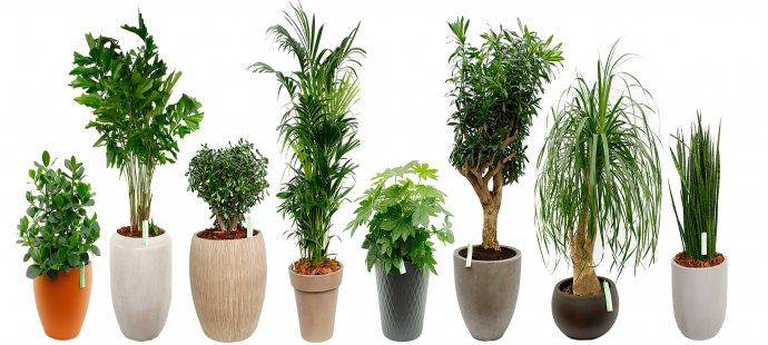 Grote kamerplanten kopen in de webshop
