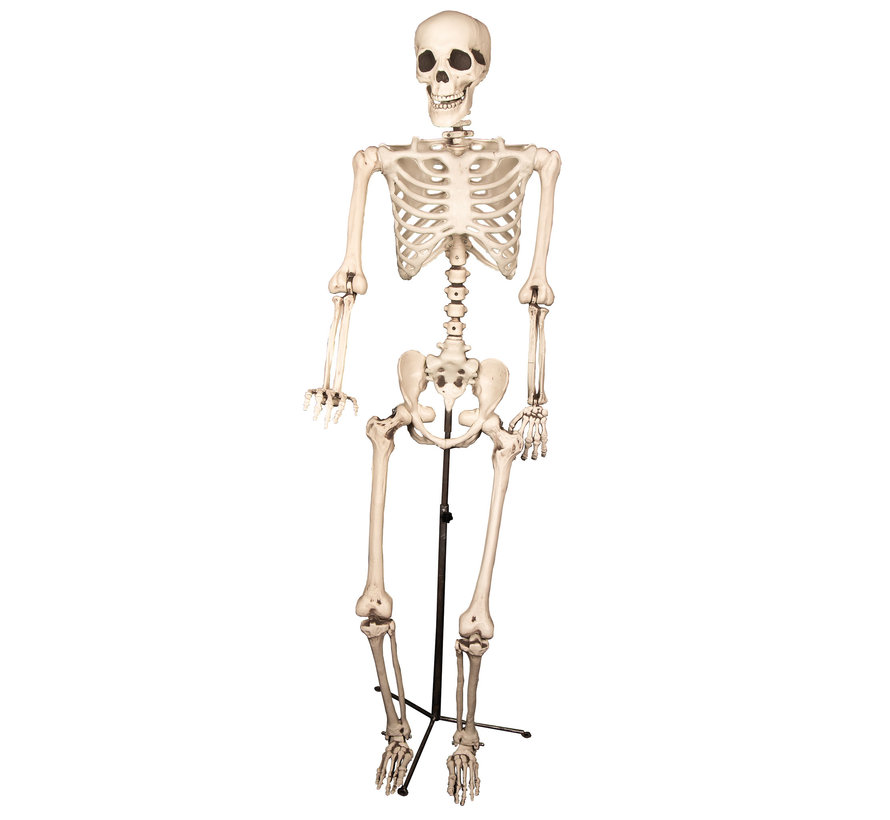 Skeleton on a stand | Decoration skeleton 155cm | Halloween decoration