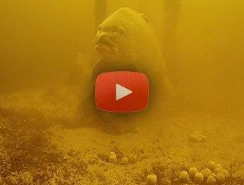 Grote karpers azen onderwater
