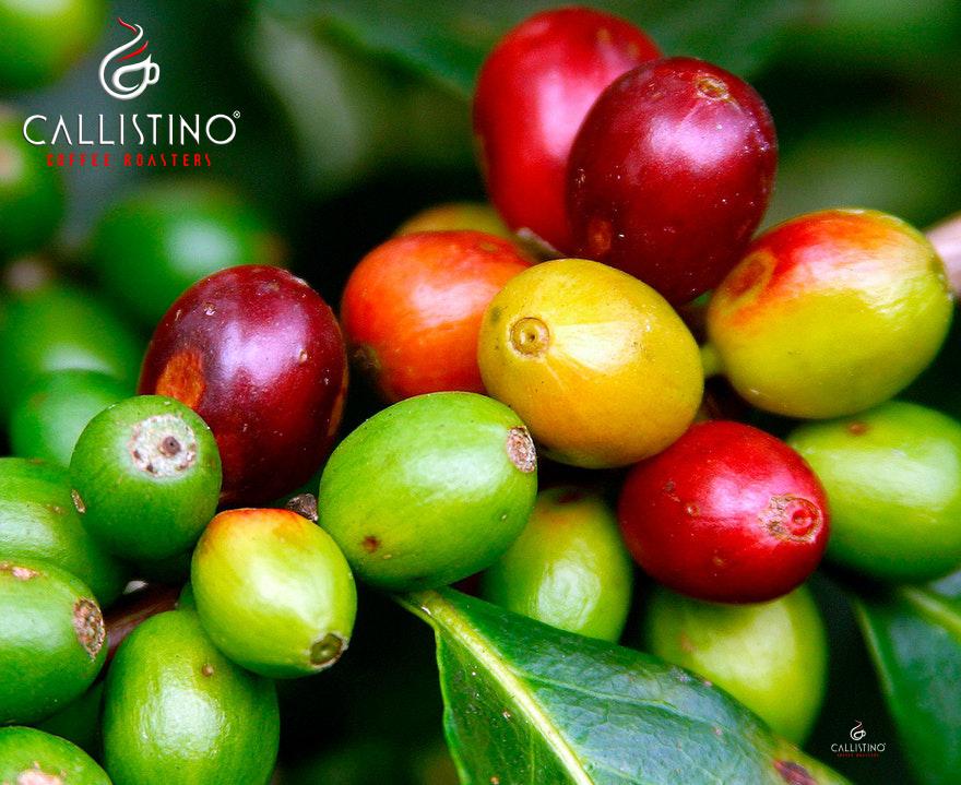Callistino Koffie Mexico HG Altura