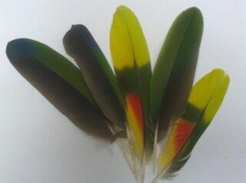 Krachtveren Amazone - Papegaai veren