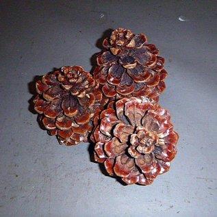 Pinienzapfen ca.  14 - 18 cm