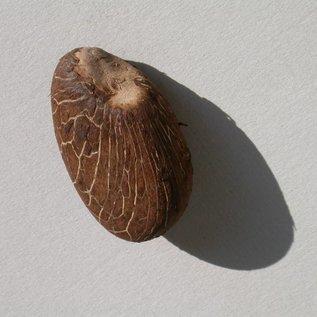 Tagua Nuss - das pflanzliche Elfenbein
