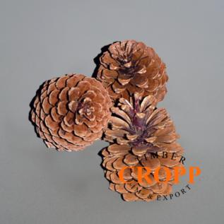 Pinus Maritima cone approx. 14 - 18 cm
