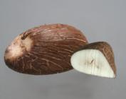 Tagua Nut