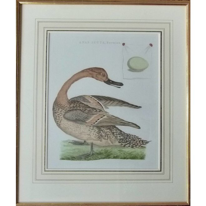 Collectie Gouldmaps - Pijlstaart; C. Nozeman / J.C. Sepp - Anas Acuta, Foemina. - 1789