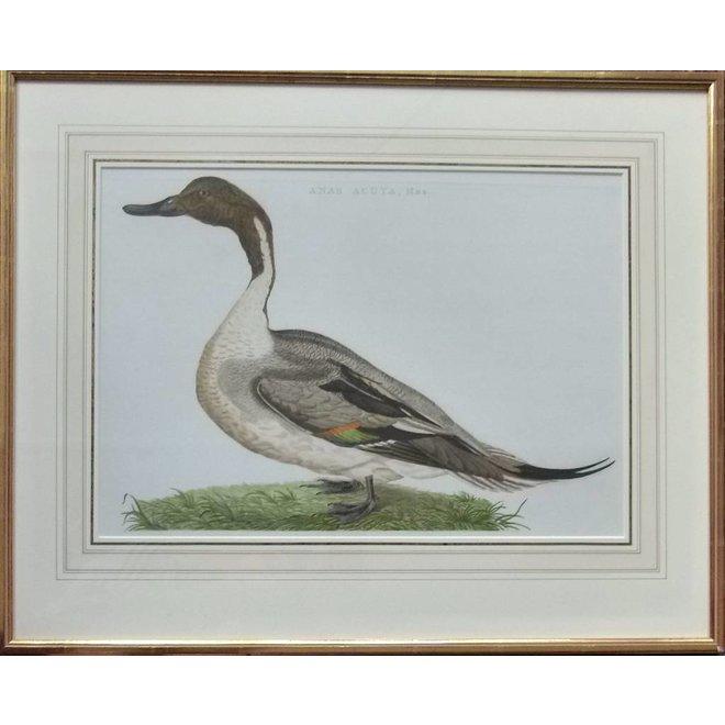 Collectie Gouldmaps - Pijlstaart; C. Nozeman - Anas Acuta, Mas. - 1789