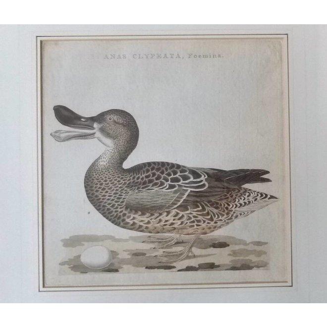 Collectie Gouldmaps - Slobeend; C. Nozeman / J.C. Sepp - Anas Clypeata, Foemina. - 1797