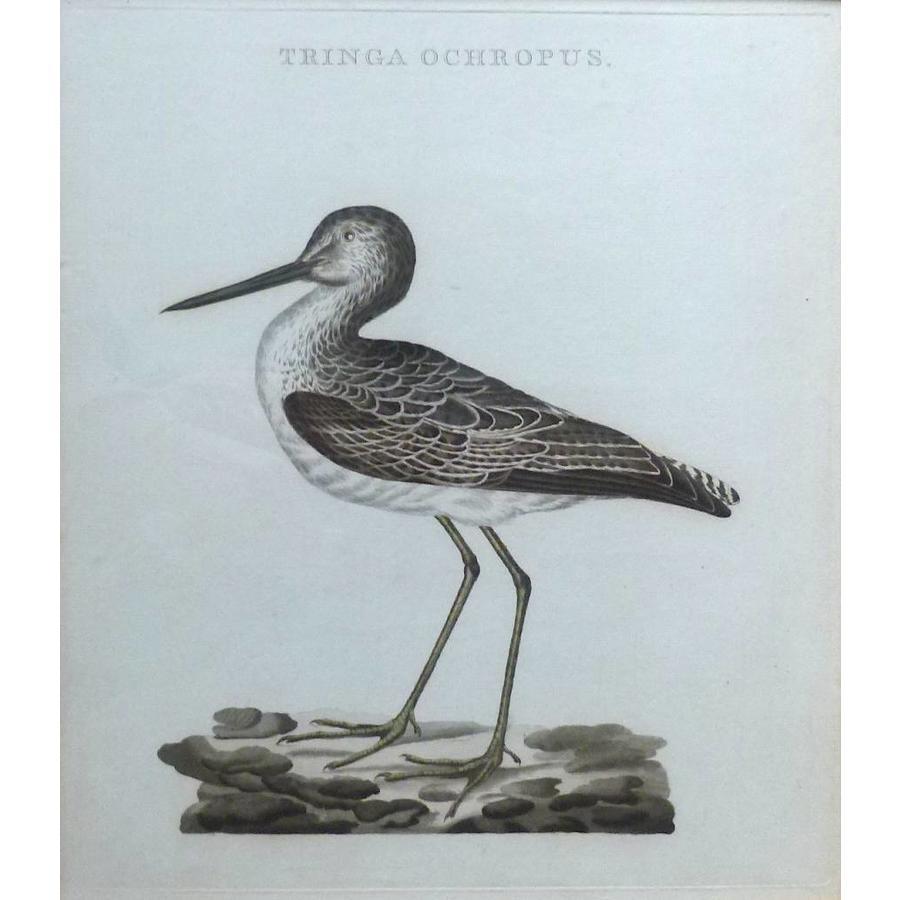 Gouldmaps Witgat snip ; C. Nozeman - Tringa Ochropus.- 1809