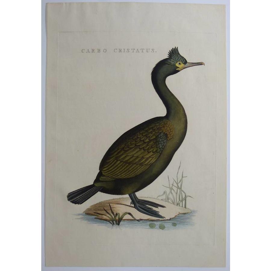Gouldmaps Gekuifde waterraaf; C. Nozeman - Carbo Cristatus - 1829