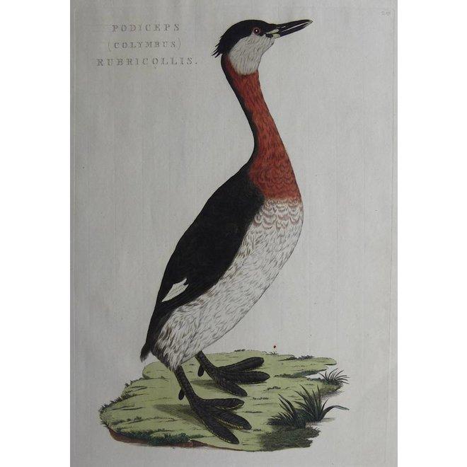 Collectie Gouldmaps - Duiker; C. Nozeman - Podiceps Colymbus Rubricollis - 1829