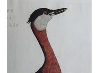 Gouldmaps Duiker; C. Nozeman - Podiceps Colymbus Rubricollis - 1829