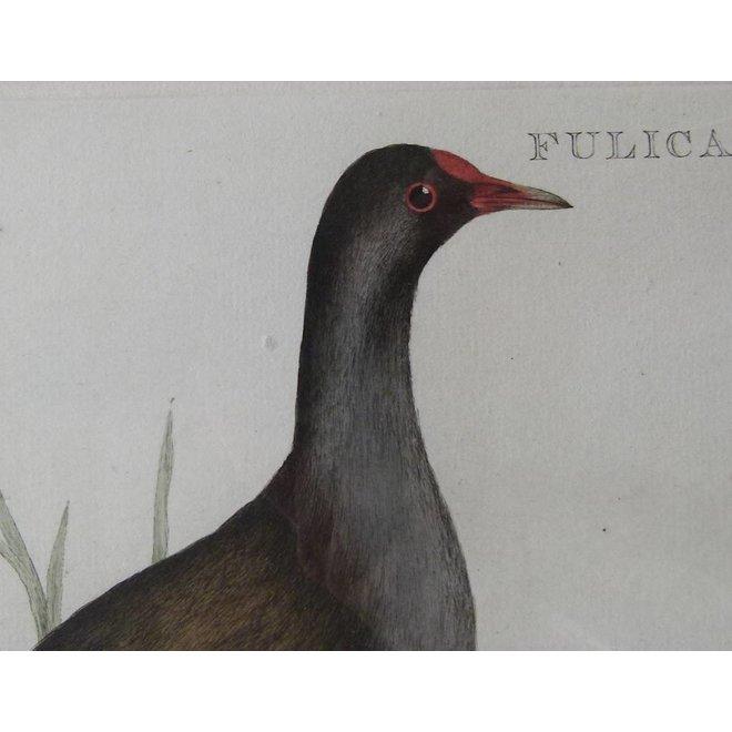 Collectie Gouldmaps - Waterhoen; C. Nozeman - Fulica Chloropus - 1770