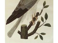 Gouldmaps Grauwe Kiekendief; C. Nozeman - Falco Pygargus. - 1809-1830