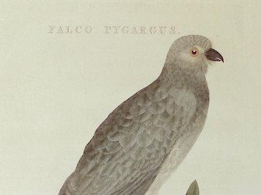 Gouldmaps Grauwe Kiekendief; C. Nozeman - Falco Pygargus. - 1809-1829