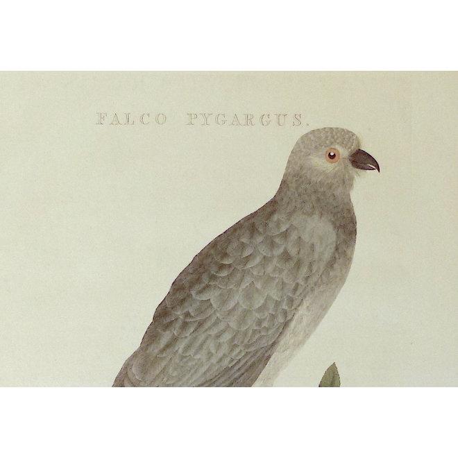 Collectie Gouldmaps - Grauwe Kiekendief; C. Nozeman - Falco Pygargus. - 1809-1829