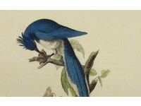 Gouldmaps Columbian ekster; J. J. Audubon - Columbia Magpie or Jay - 1840-1844