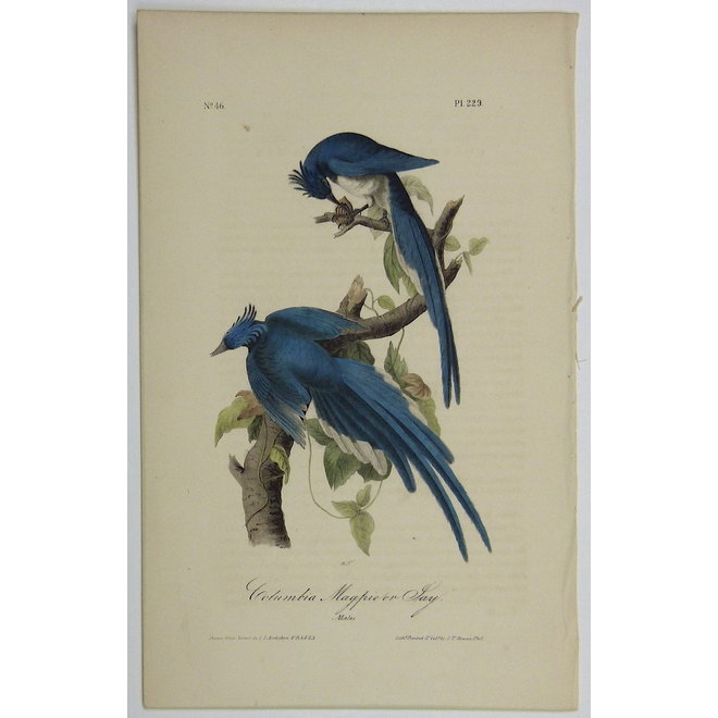 Collectie Gouldmaps - Columbian ekster; J. J. Audubon - Columbia Magpie or Jay - 1840-1844