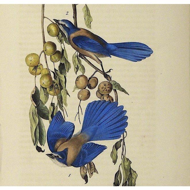 Collectie Gouldmaps - Florida gaai; J. J. Audubon - Florida Jay. - 1840-1844