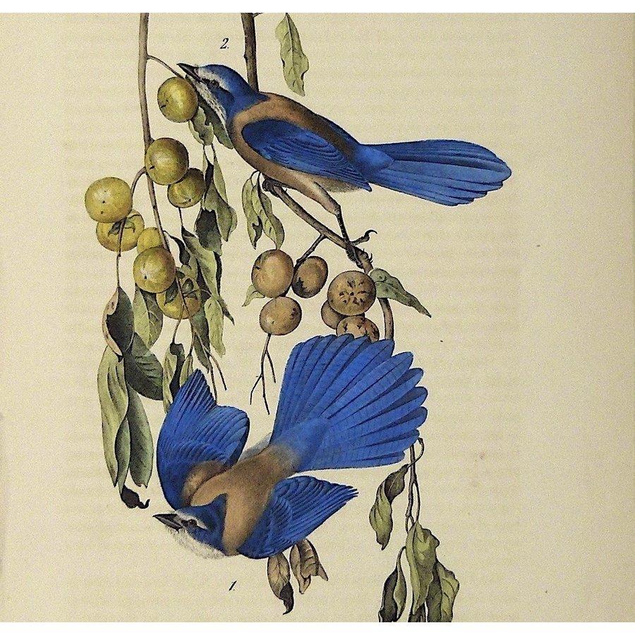 Gouldmaps Florida Jay; J. J. Audubon - Florida gaai. - 1840-1844