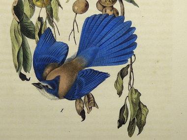 Gouldmaps Florida gaai; J. J. Audubon - Florida Jay. - 1840-1844