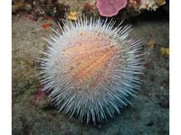 Craftzz Wanddecoratie Sea Urchin 36x54