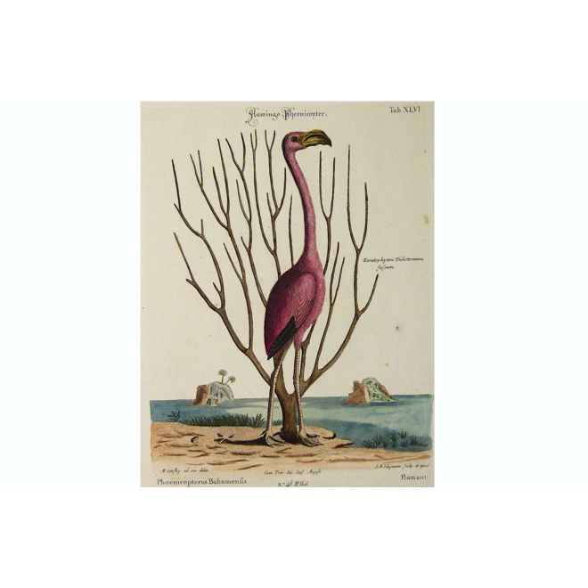 Collectie Gouldmaps - Flamingo; M. Catesby / J. Seligmann - Flamingo Phoenicopter. - 1770