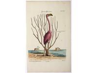 Gouldmaps Flamingo; M. Catesby / J. Seligmann - Flamingo Phoenicopter. - 1770
