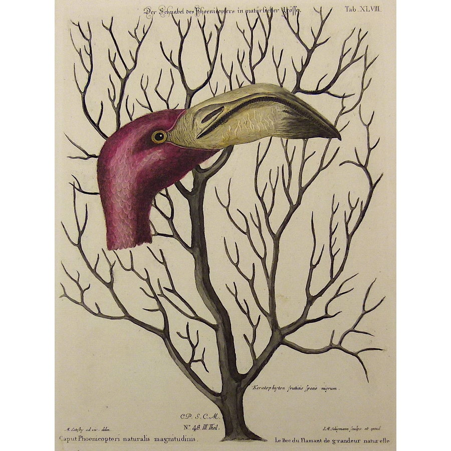 Gouldmaps Flamingo; M. Catesby / J. Seligmann Caput Phoemeopteri naturalis magnitudinis - 1770