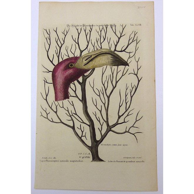 Collectie Gouldmaps - Flamingo; M. Catesby / J. Seligmann Caput Phoemeopteri naturalis magnitudinis - 1770