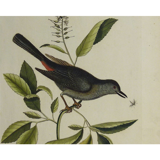 Collectie Gouldmaps - Vliegenvanger; M. Catesby / J. Seligmann - Muscicapa vertice nigro. - 1770