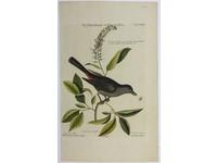 Gouldmaps Vliegenvanger; M. Catesby / J. Seligmann - Muscicapa vertice nigro. - 1770